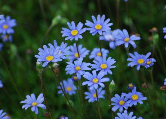 Das Bild zeigt eine Nahaufnahme von lilanen Blumen auf einer Wiese.