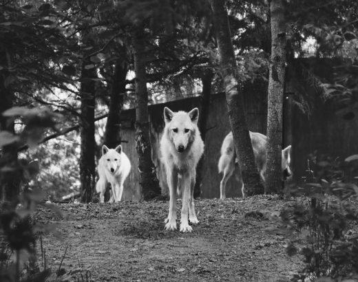 Wölfe und Manager – und was sie voneinander lernen können