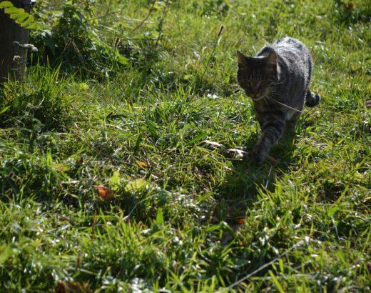 Cat Content – Eine gestreifte Katze schleicht auf einer Wiese