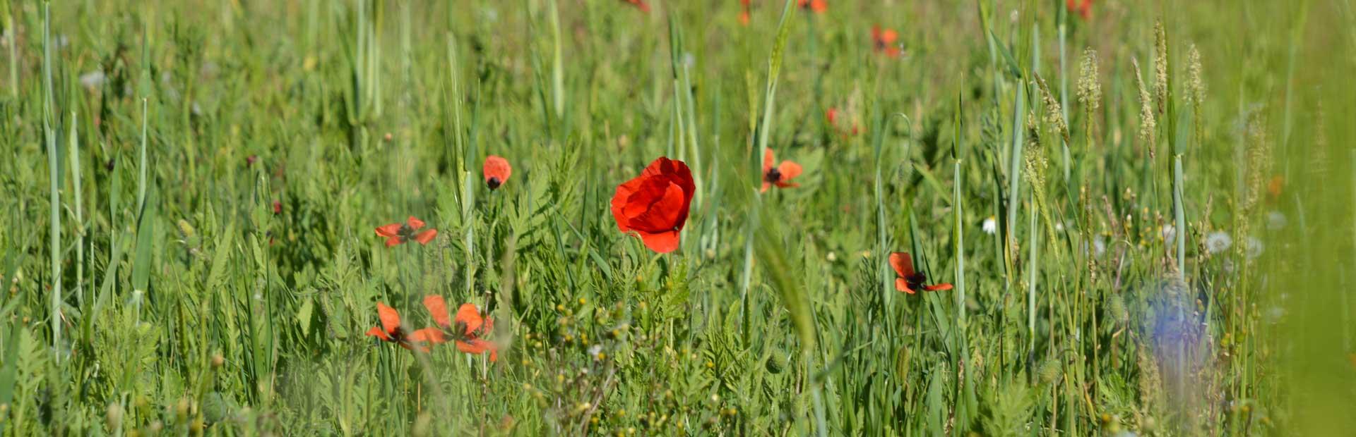 Eine sanftig grüne Blumenwiese wird von der Sonne angestrahlt. Im Fokus des Bildes sind viele Mohnblumen zu sehen.