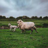 Schaf mit seinem Lamm rennt über eine Wiese. Im Hintergrund ist ein Feld mit einem Waldrand zu sehen. Die Tiere erleben einen Tierschutz mit viel Freiraum.