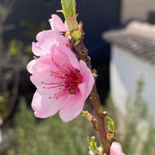 #natur #schönheit  #blume #flower #pfirsichbaum #peachtree #pink #rosa #blossom #blüte #grün #nature #inspiration #fotoarchiv #photoarchive #phasegrün #phasegrünfoto #kreativagentur #werbeagentur #Saarland #onlinemarketing #kreation #onlinemarketingkreation