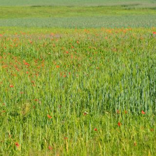 #natur #schönheit  #wiese #gras #pasture #greenfield #mohn #poppy #red #grün #nature #inspiration #fotoarchiv #photoarchive #phasegrün #phasegrünfoto #kreativagentur #werbeagentur #Saarland #onlinemarketing #kreation #onlinemarketingkreation
